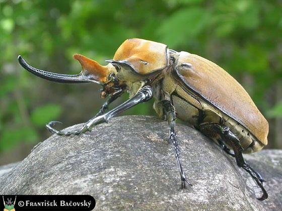 Elephant beetle - Wikipedia